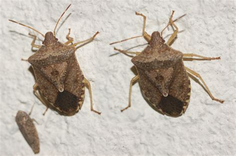bed bugs in ohio stink bugs ohio images