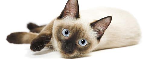 allergia alimentare gatto allergie alimentari nei gatti sintomi e test purina