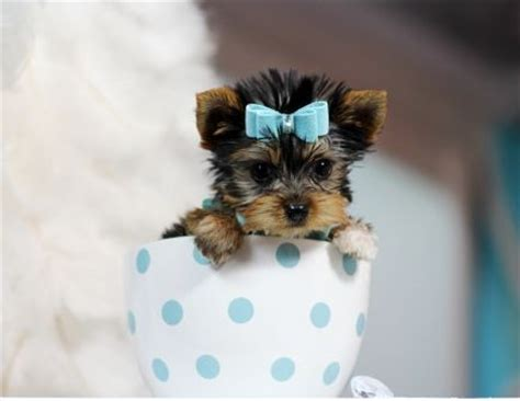 cup yorkies for sale 25 best ideas about teacup puppies for sale on puppies for sale