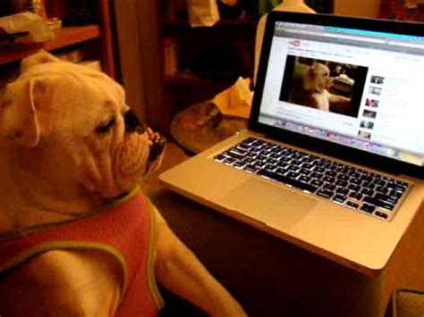 watch tv couch english bulldog watching her own youtube video of english
