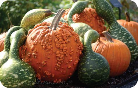 unique pumpkins pumpkins gourds for autumn displays