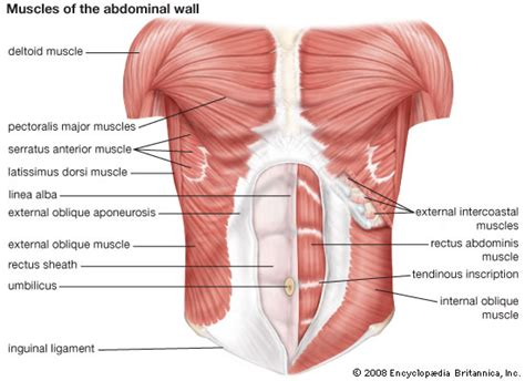 abdominal muscles  symptoms treatment abdominal muscles
