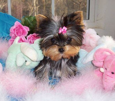 free yorkie puppies in bulldog puppies shipped yorkie puppies shorkie puppies safely