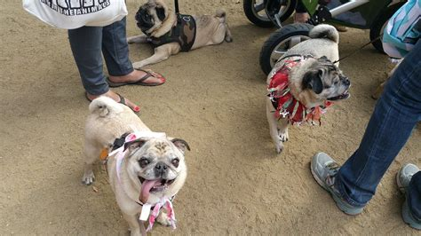 pug nation rescue pug nation rescue la pugnationrescue