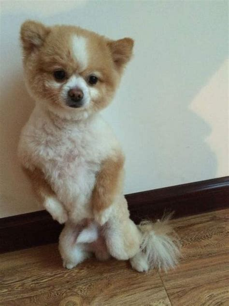 pomeranian haircuts teddy 25 pomeranian haircuts for hairstylec