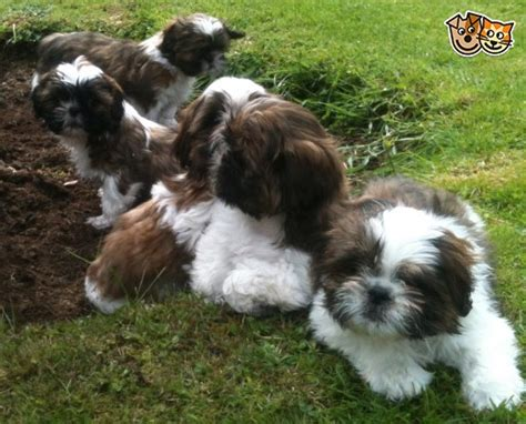 shih tzu puppies new hshire adorable shih tzu puppies looking for new homes emsworth hshire pets4homes