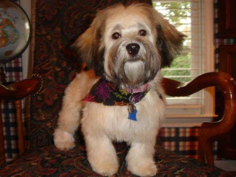 ambler havanese ambler havanese havanese puppies for sale