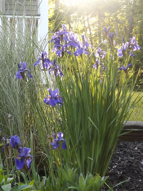 purple iris and variegated sea grass photograph by jennifer bowring