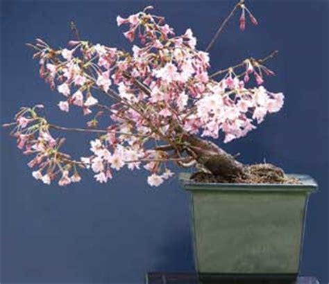 www bonsai haus de cerezo de flor prunus subhirtella prunus serrulata bonsai