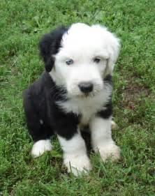 1000 Ideas About Shetland Sheepdog On Pinterest Shetland Sheepdog » Ideas Home Design