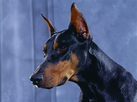 doberman puppy puppy world doberman puppy pictures
