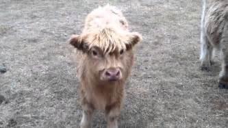 Miniature scottish highland cows youtube