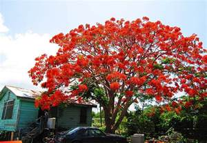 Tropical Plant Names And Pictures - flamboyant tree or quot flame tree quot