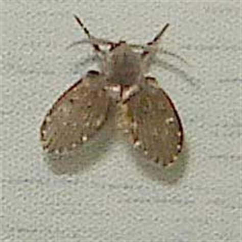 bathroom flies bite pest control small oval dark brown bug with jagged markings images frompo