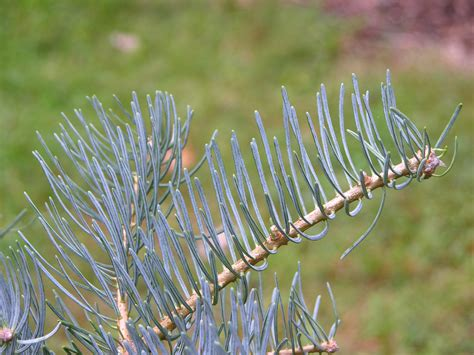 filewhite fir abies concolor needles pxjpg wikimedia commons