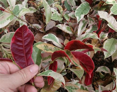 Sambang Darah Tanaman Hias ciri ciri tanaman sambang darah serta khasiat dan manfaatnya bibitbunga