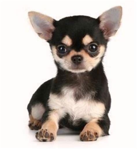 tout sur le chihuahua le chiwawa : bébé, chiot et chien