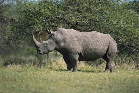 imagenes rinoceronte blanco 191 qu 233 comen los rinocerontes respuestas tips
