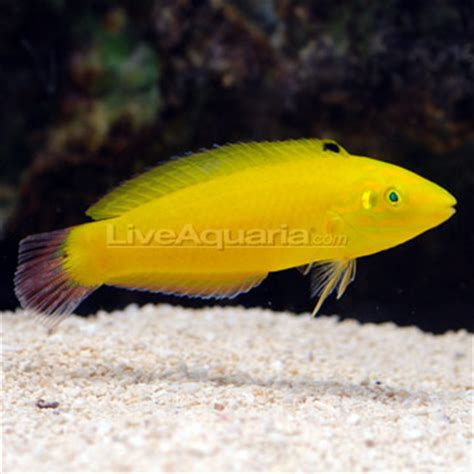 Maxy Kuning Sw saltwater aquarium fish for marine aquariums yellow wrasse