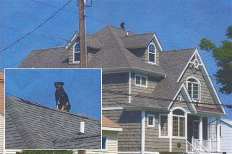 dog guards for house roof justice daredevil dog hits the heights to keep
