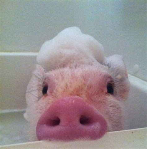 pig in a bathtub bubble baths just stop and pets on pinterest
