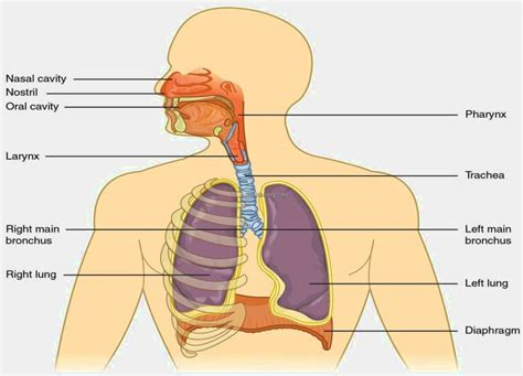 diagram of the respiratory system respiratory system diagram images