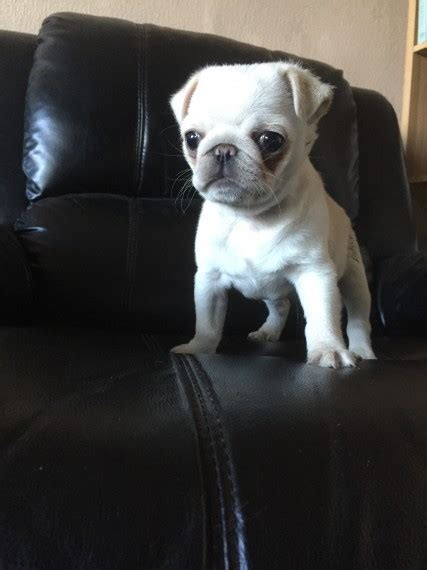 white pugs for sale uk white pug for sale armagh county armagh pets4homes