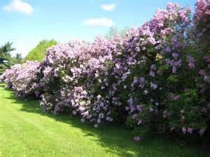 gallery for gt purple lilac hedge