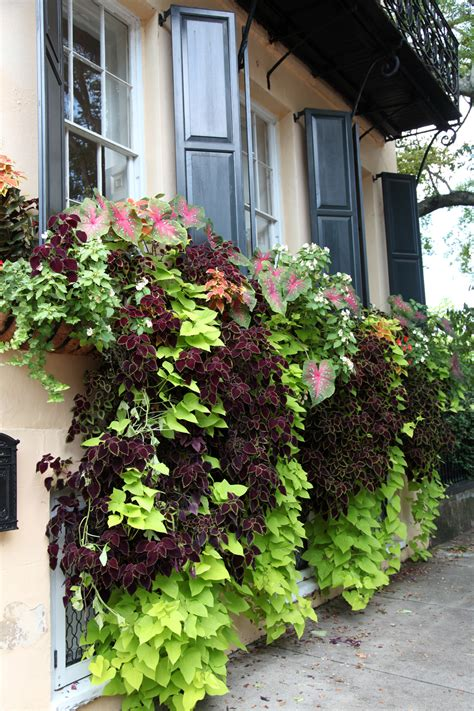 planted window boxes charleston part 3 window boxes vines one playful