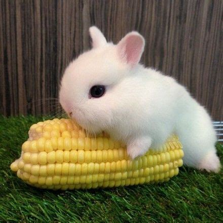 eat corn bunny rabbit pinterest nom nom bunnies and