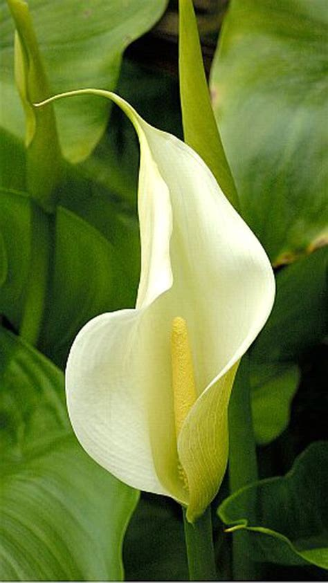 peace lily peace lily a houseplant that helps purify the air