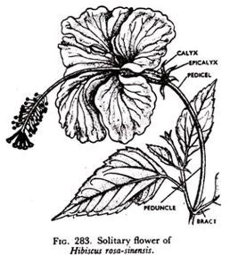 diagram of hibiscus flower gallery line diagram flower drawing gallery