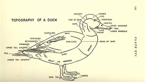 duck diagram science topography of a duck by maynard f reece