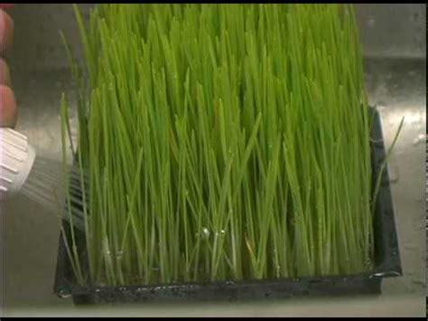 easy grow wheatgrass how to grow wheatgrass youtube