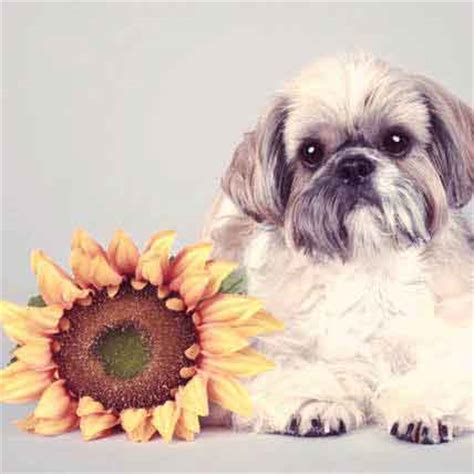 shih tzu information and facts shih tzu information facts pictures and grooming design bild