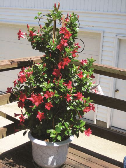 growing mandevilla   pot beautiful plants garden