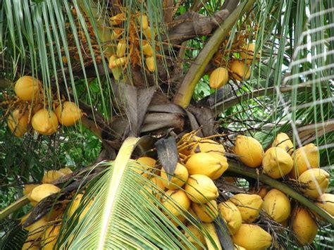 Bibit Kelapa Wulung Hibrida harga jual bibit kelapa hibrida hijau gading genjah kopyor