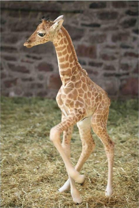imagenes de jirafas bebés 191 sab 237 as que las jirafas no tienen cuerdas vocales