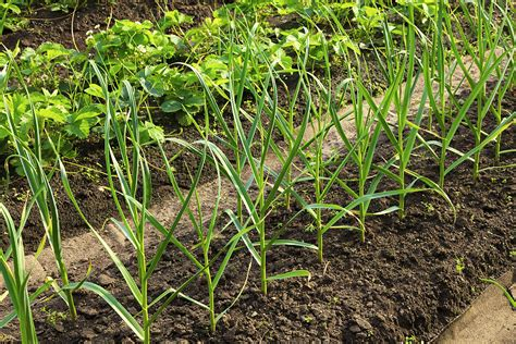 Plants Vegetable Garden Wide Row Vegetable Garden Beds Harvest To Table