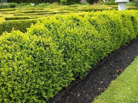 siepi giardino sempreverdi piante per siepi sempreverdi siepi caratteristiche