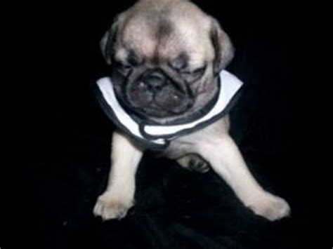 pug puppies for sale in virginia baby pugs for sale in virginia