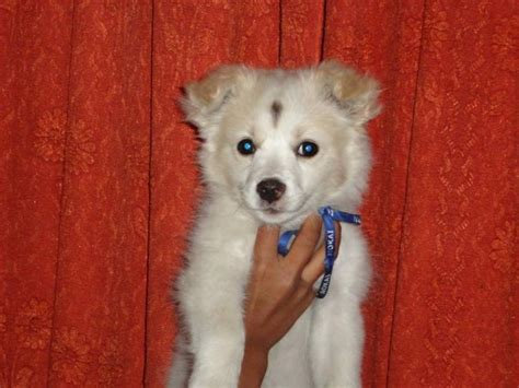difference between japanese spitz and pomeranian white indian spitz breeds picture