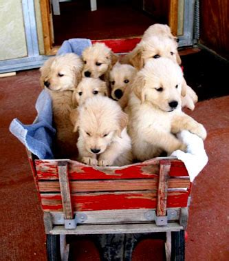 golden retriever puppies for sale in az golden retriever puppies for sale arizona photo