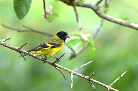 black headed yellow siskin hawkesbury finch club