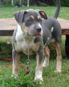 tri color pitbull puppies pitbull tri colored pocket bully pit breeds picture