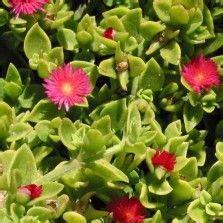 Babydoll Pink Bunga Sua306 225 best tanaman hias bunga images on childhood early childhood and infancy