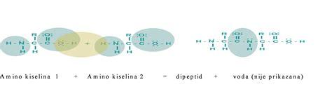 u proteini peptidi i proteini tehnologija hrane