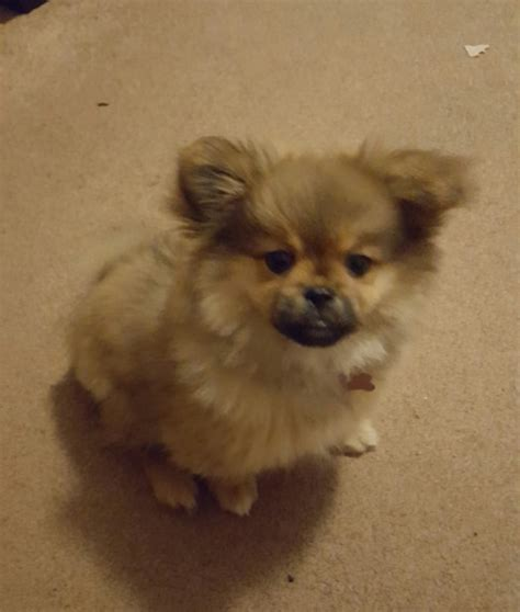 pomeranian pekingese gorgeous pomeranian pekingese cross bridgwater somerset pets4homes