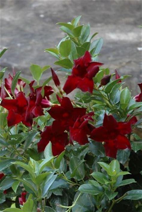 mandevilla mandevilla  amoena aloha regal ruby