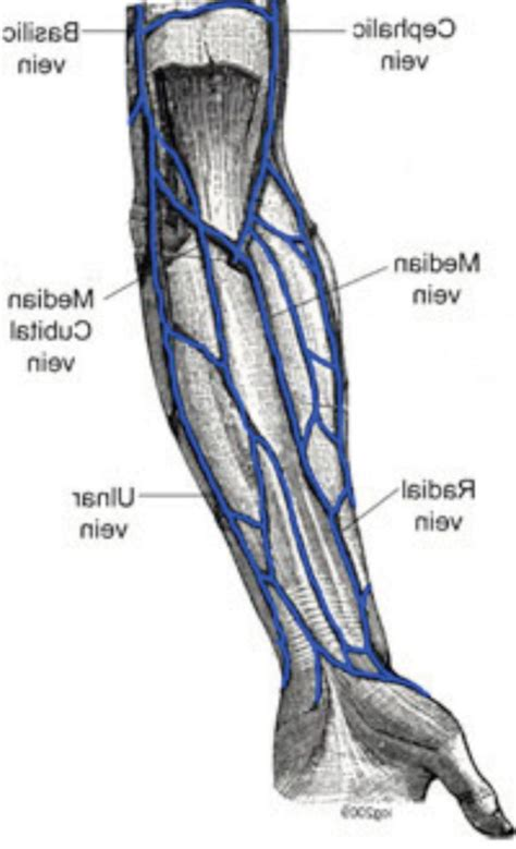 In Vein arm vein anatomy characters